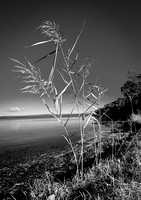 Lakeside Grasses